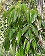 Baby Lychee Tree